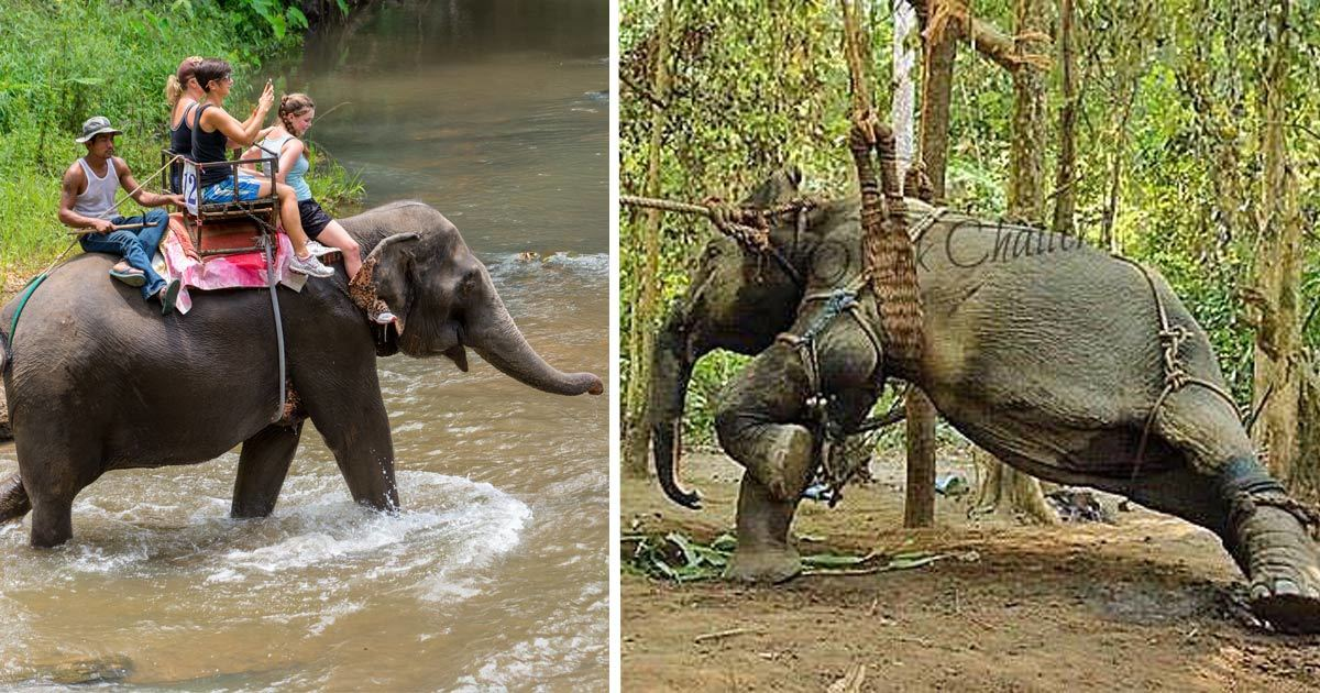 Image result for Here's What Happens Before You Ride That Elephant. We Must Put A Stop To This