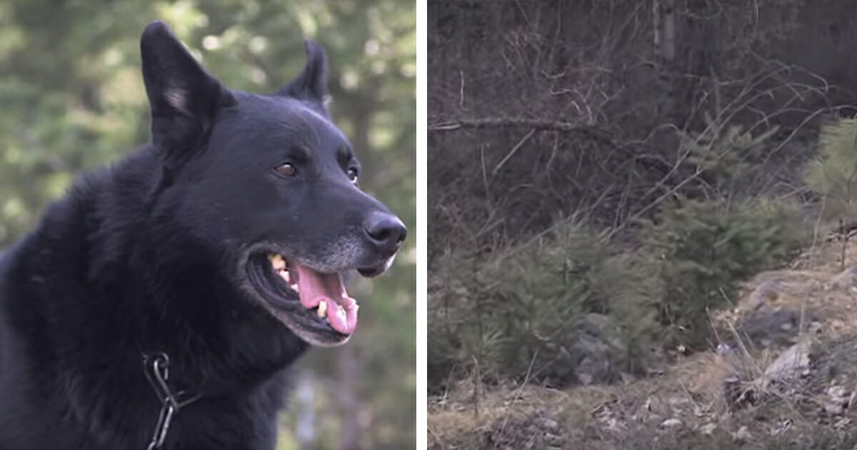Dog fights off coyotes and protects teen for 2 days after car crash